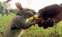 Những con chuột có thực sự khó chịu? Loại chuột vĩ đại nhất thế giới, liều mạng bảo vệ loài người nhưng ít người biết